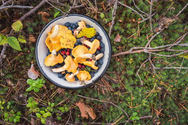 Chanterelles and forest berries on moss - the fruits of Mother Nature Chanterelles, wild bilberries (blueberries) and lingonberries in a bowl on the moss with fallen pine tree twigs and needles. Wild berries and mushroom foraging in the Nordic forest. foraging stock pictures, royalty-free photos & images