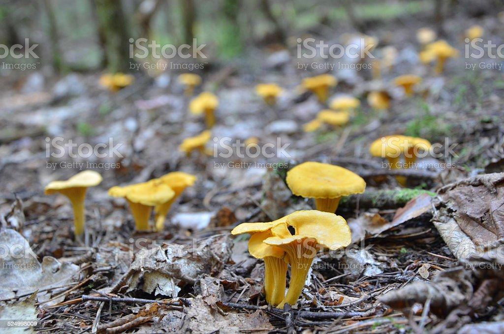 Chanterelles close up in wild stock photo