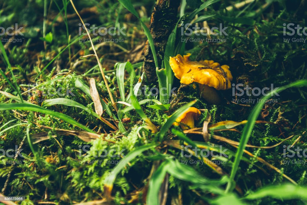 Chanterelles in the forest stock photo