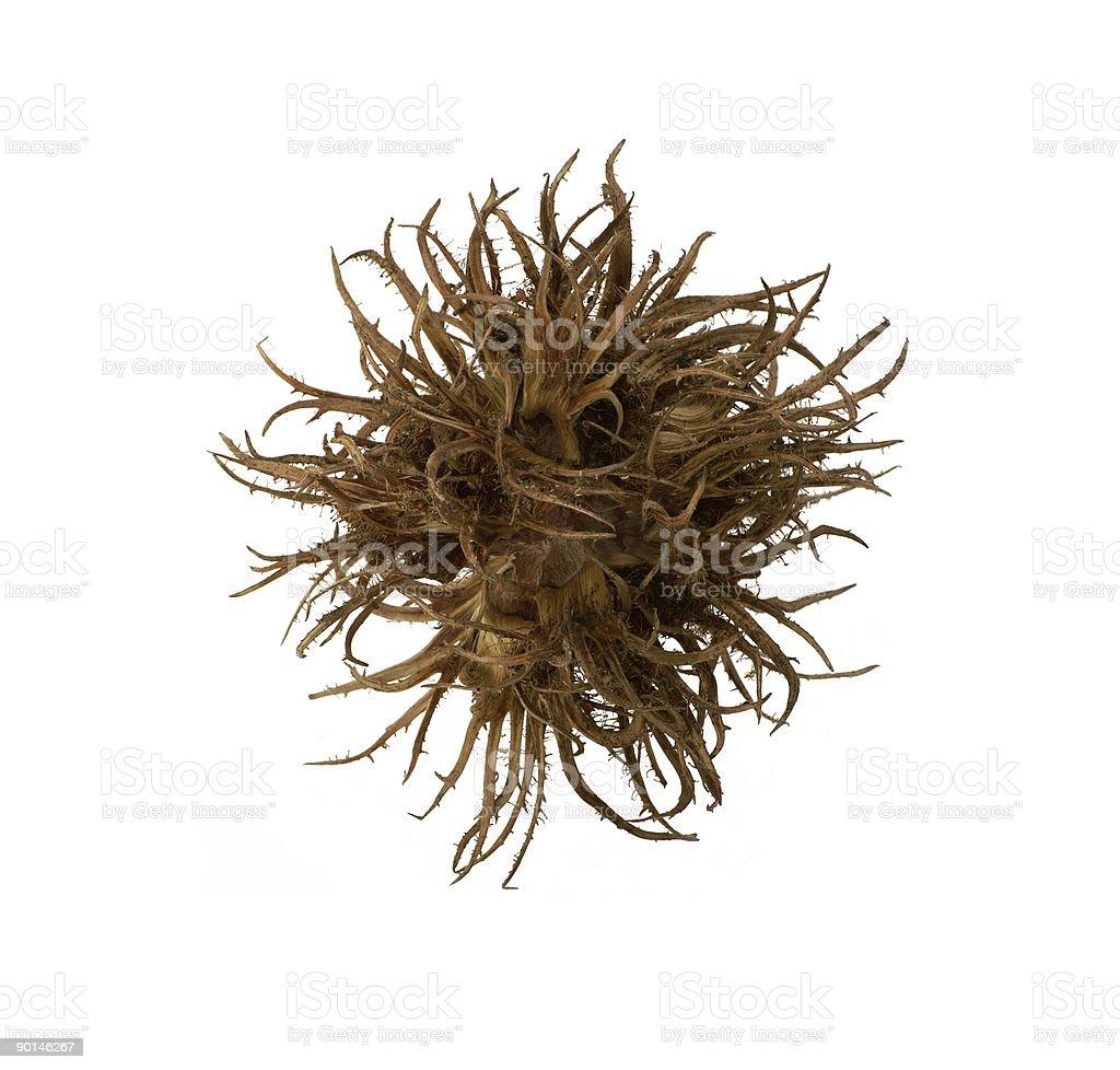 chaos ball (hazelnut) royalty-free stock photo