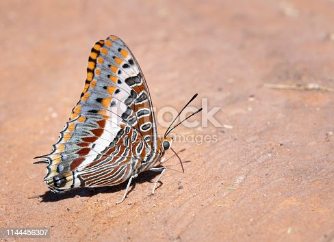 Charaxes jasius, the Two-Tailed Pasha or Foxy Emperor. Nikon D850. Converted from RAW.