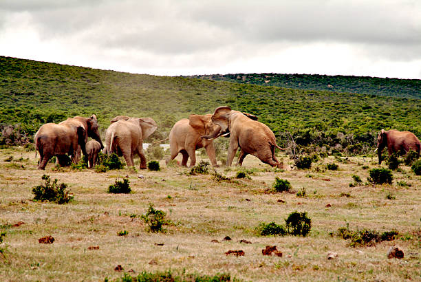 charching elephants stock photo