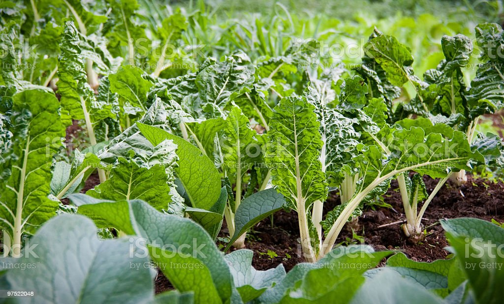 Chard Plantation in Africa royalty-free stock photo