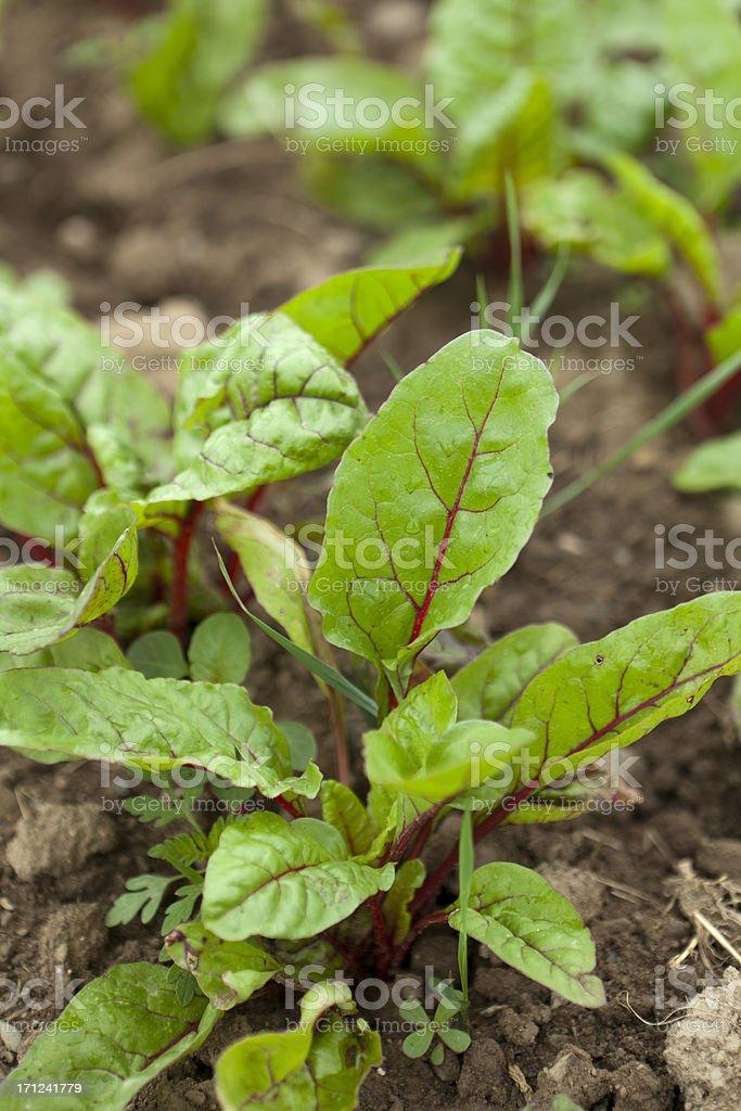 chard plants on the farm royalty-free stock photo