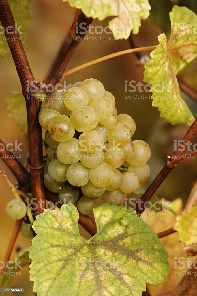 Chardonnay Champagne Grape stock photo