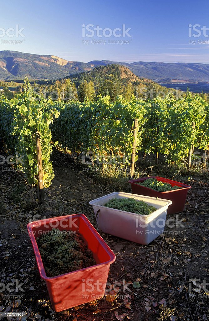 Chardonnay grapes harvest vineyard royalty-free stock photo
