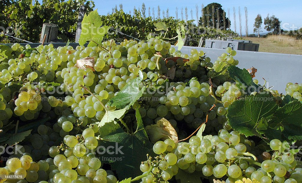 Chardonnay grapes harvested in Lenswood, South Australia stock photo