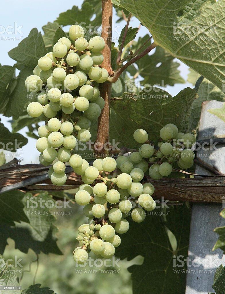 Chardonnay Grapes royalty-free stock photo