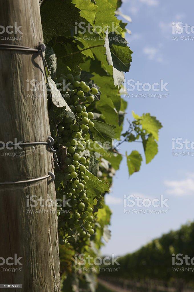 Chardonnay Grapes stock photo