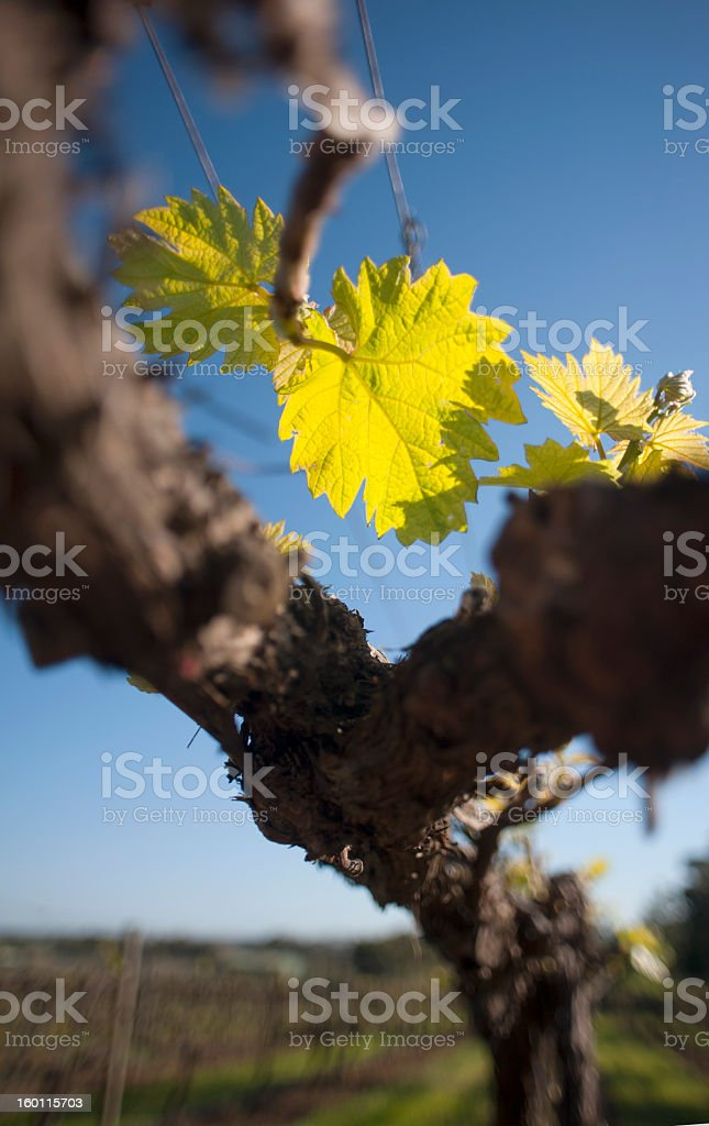 Chardonnay leaf, organic vineyard in McLaren Vale, Australia stock photo