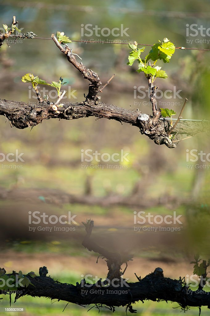 Chardonnay vines, McLaren Vale, Australia stock photo