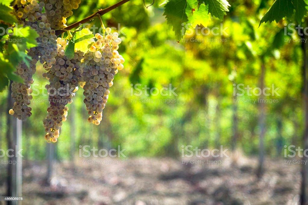 Chardonnay wino z winogron – zdjęcie