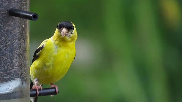 Chardonneret jaune Oiseaux du Québec american goldfinch stock pictures, royalty-free photos & images