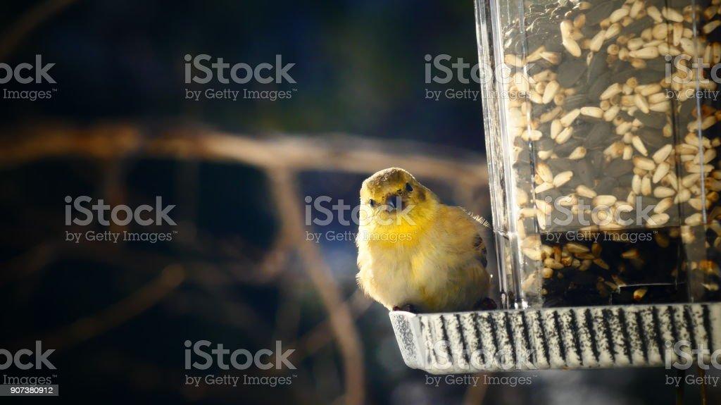 Chardonneret jaune stock photo