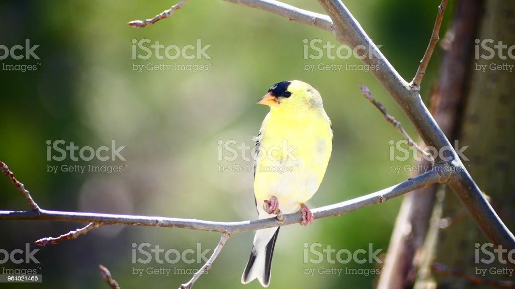 Chardonneret jaune sur une branche d'arbre - Royalty-free American Goldfinch Stock Photo