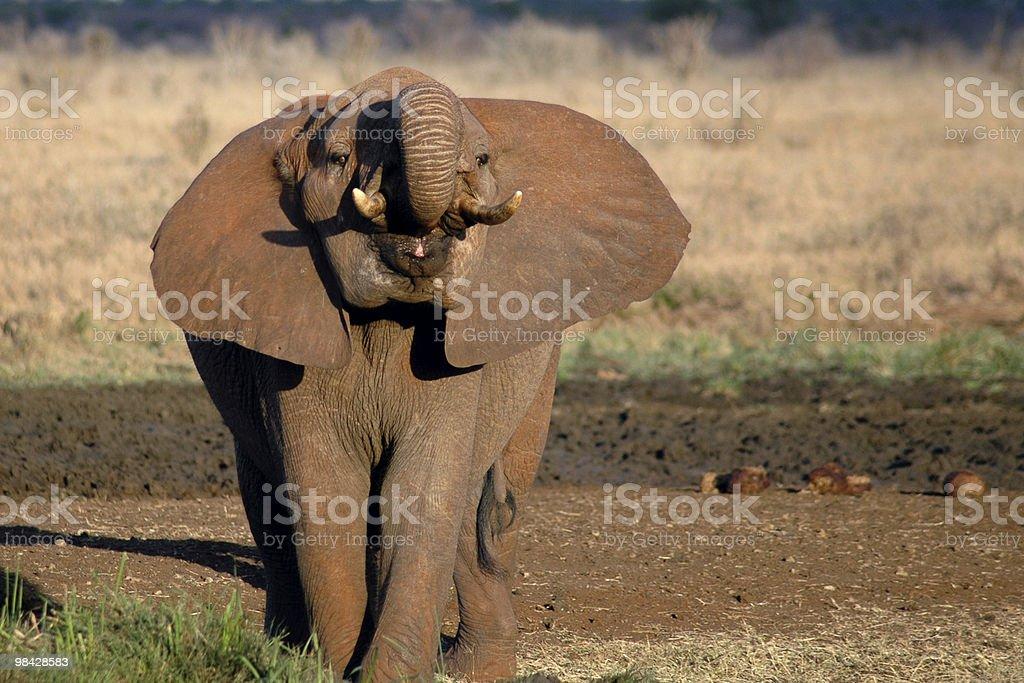 돌격 코끼리 royalty-free 스톡 사진