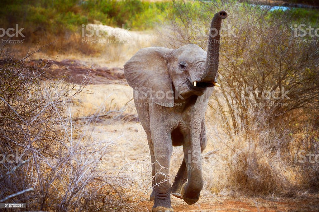 Charging Juvenile Elephant in South Africa's Kruger Park stock photo