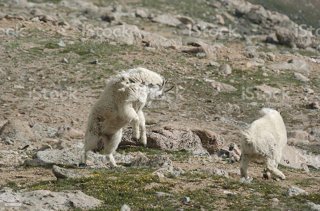 Charging Mountain Goat royalty-free stock photo