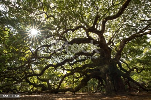 Angel Oak Tree in John's Island, South Carolina. This tree is very close by to Charleston, South Carolina and it between 400-500 years old.