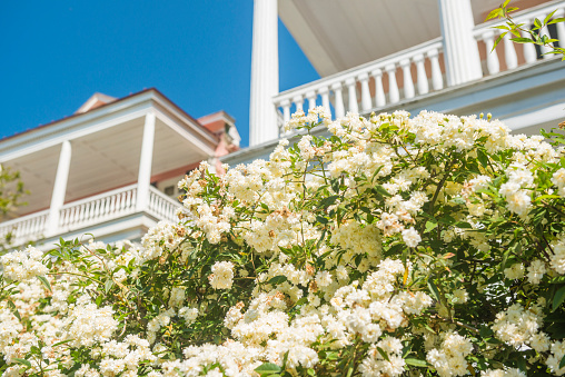 This is a color photograph of spring flowers blooming on a bush with white Colonial style porches in the background in the historic Charleston, South Carolina, a travel destination in the Southern USA.