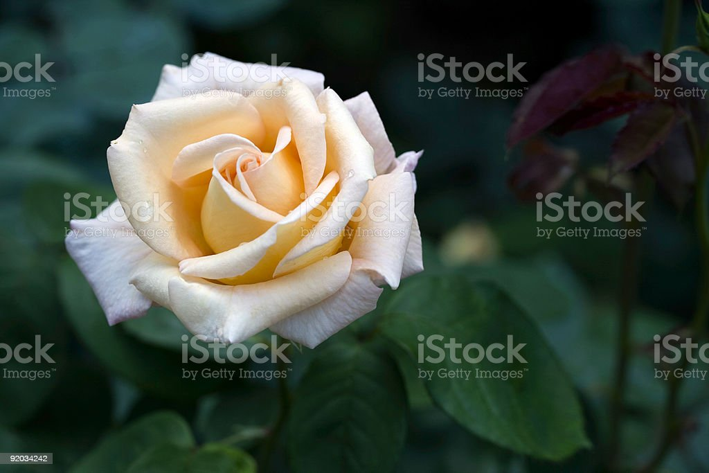 Charlotte Brownell rose in bloom stock photo