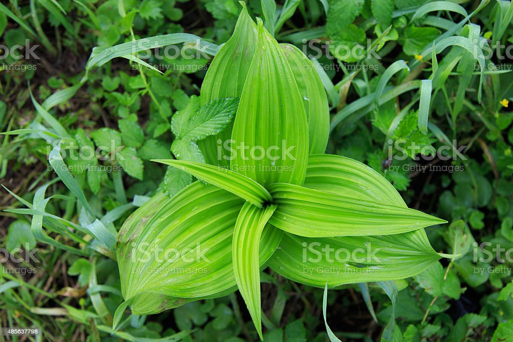 Charmed triangle plant stock photo
