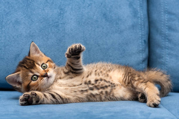 Charming brown British small cat lying on a blue sofa with one front paw up stock photo