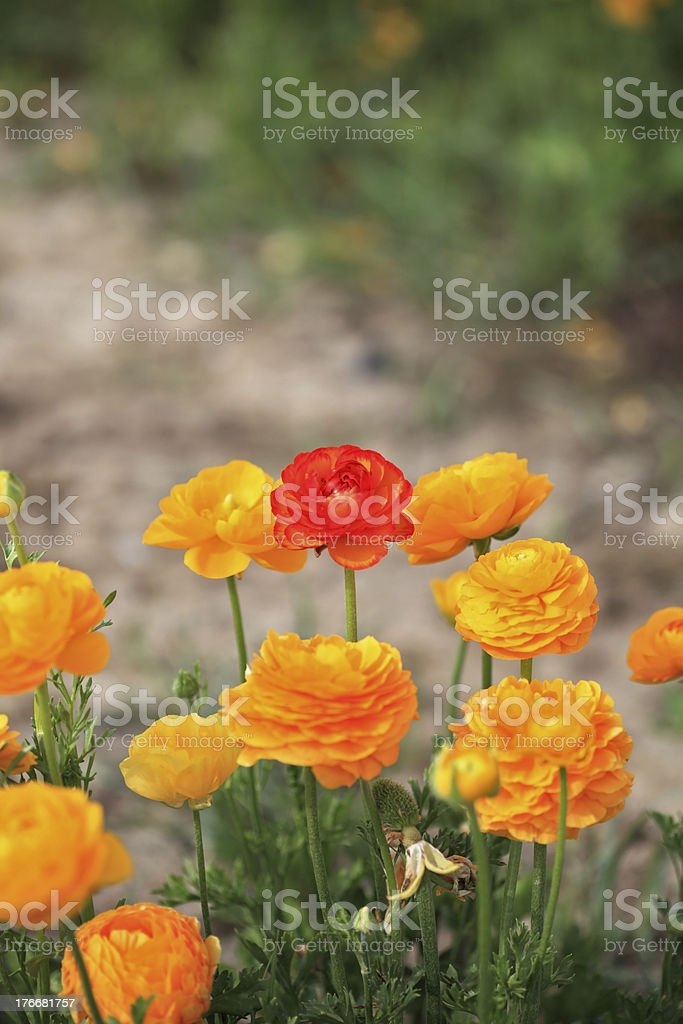 Charming bush large yellow buttercups royalty-free stock photo