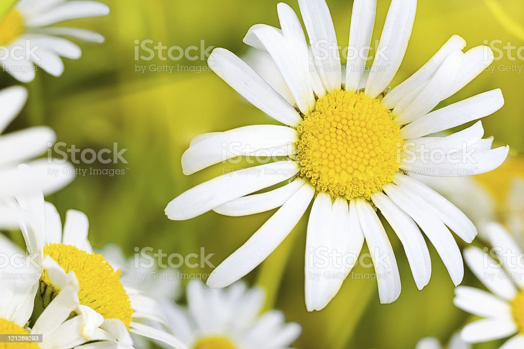 Charming camomile royalty-free stock photo