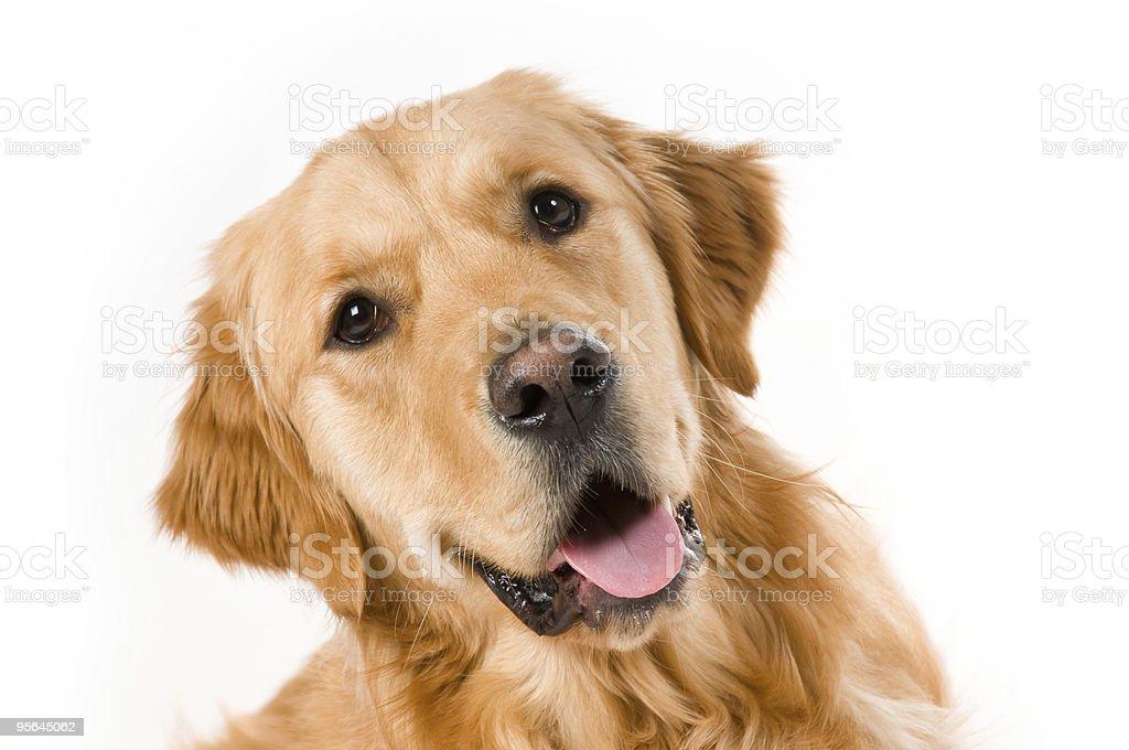Charming Golden Retriever stock photo
