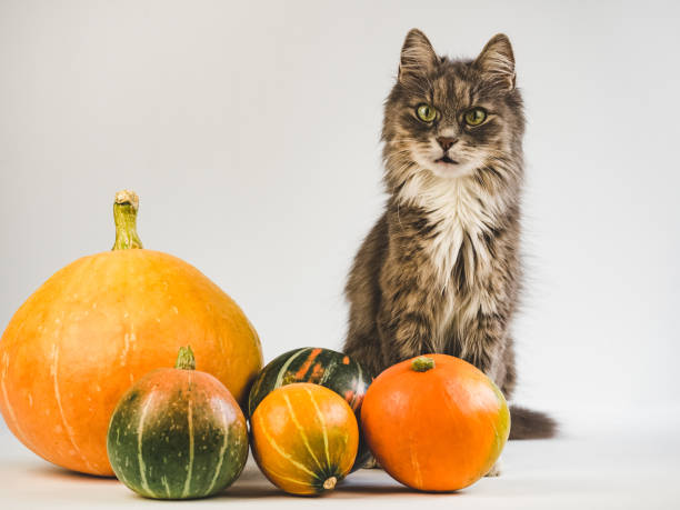 Charming, gray kitten and ripe, multi-colored pumpkins Portrait of a charming, gray, fluffy kitten, ripe, multi-colored pumpkins. White background, isolated, close-up. Preparing for the holidays thanksgiving pets stock pictures, royalty-free photos & images