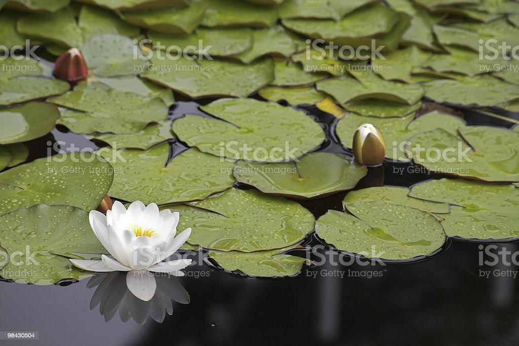 Charming pond with lilies royalty-free stock photo