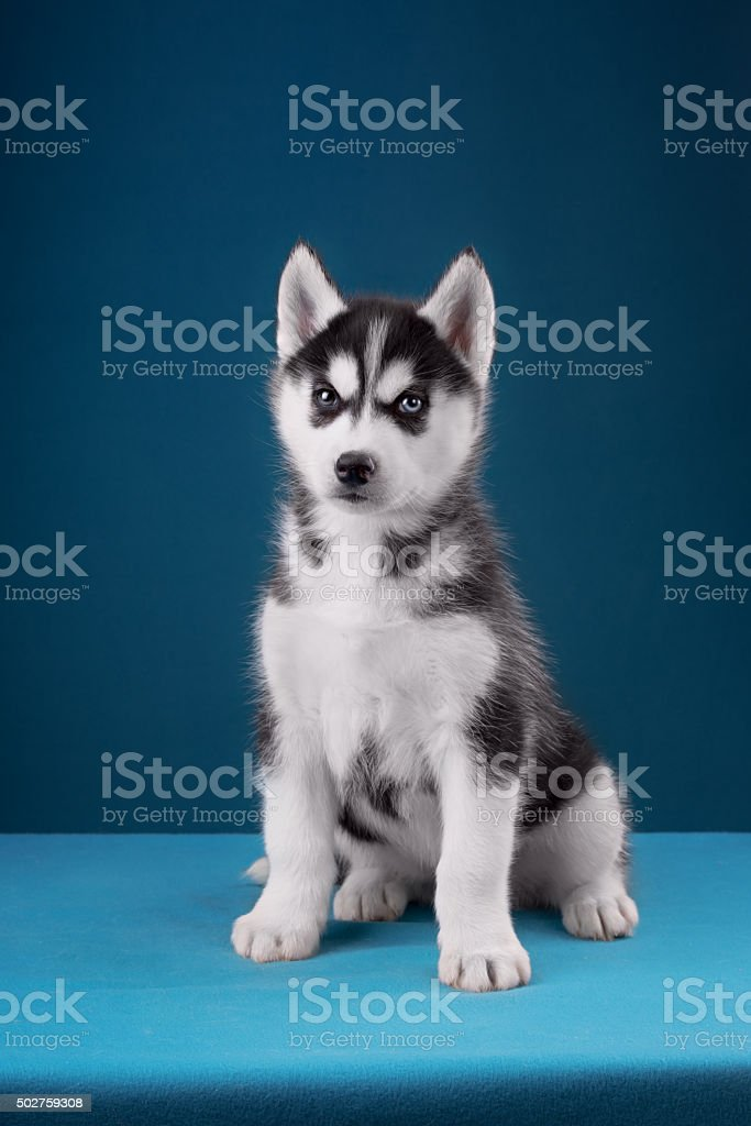 Charming puppy Husky with blue eyes stares into the camera stock photo