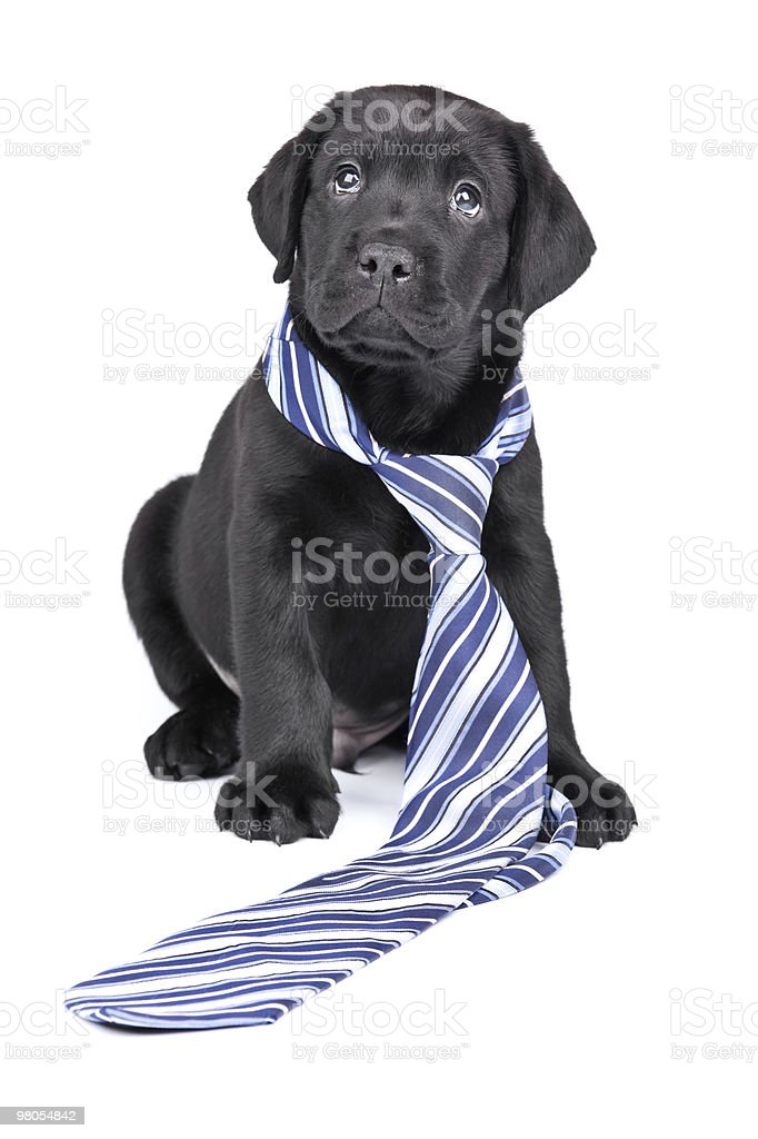Charming puppy labrador in  necktie on a white background royalty-free stock photo