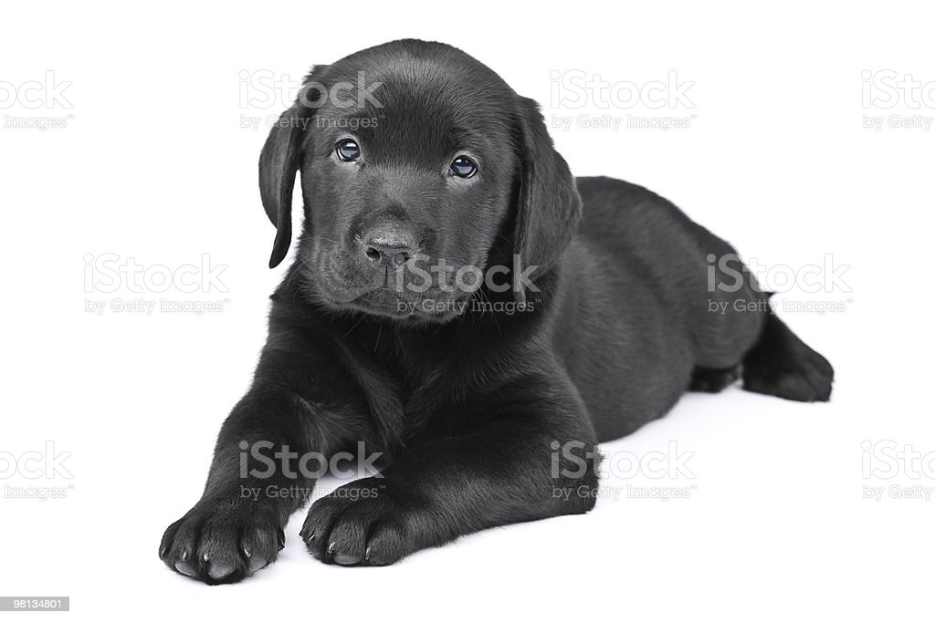 Charming puppy labrador on a white background royalty-free stock photo