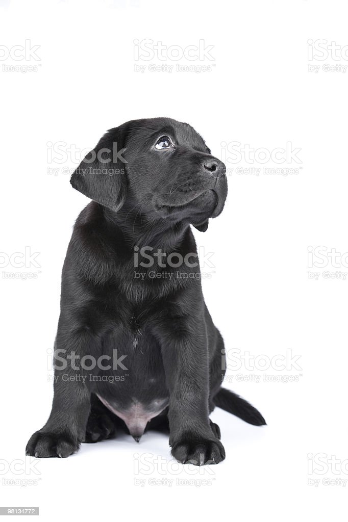 Charming puppy labrador royalty-free stock photo