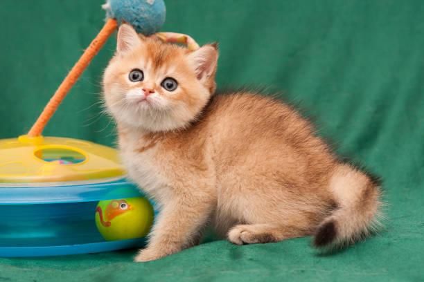Charming redhead British kitten sitting next to a cat toy stock photo