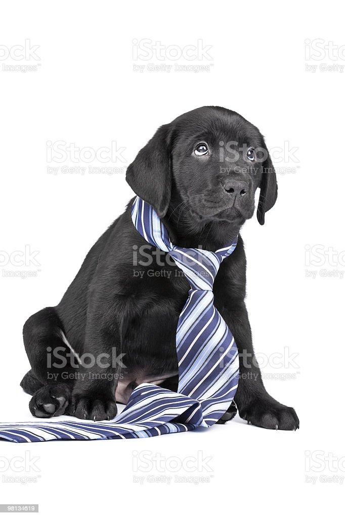 Charming sad puppy labrador in  necktie on a white background royalty-free stock photo