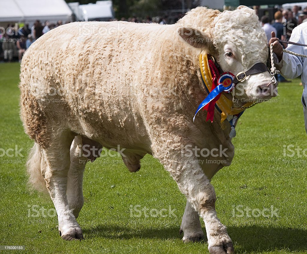 Charolais Bull at an agricultural show in Scotland royalty-free stock photo