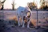 Charolais bull at dusk in dry pasture