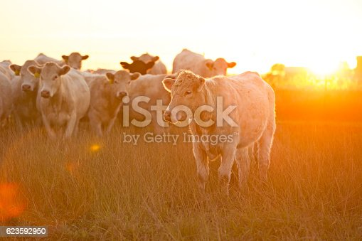 Charolais Cattle gathered close to the camera as the sun sets on a California farm. Naturally occurring lens flare.