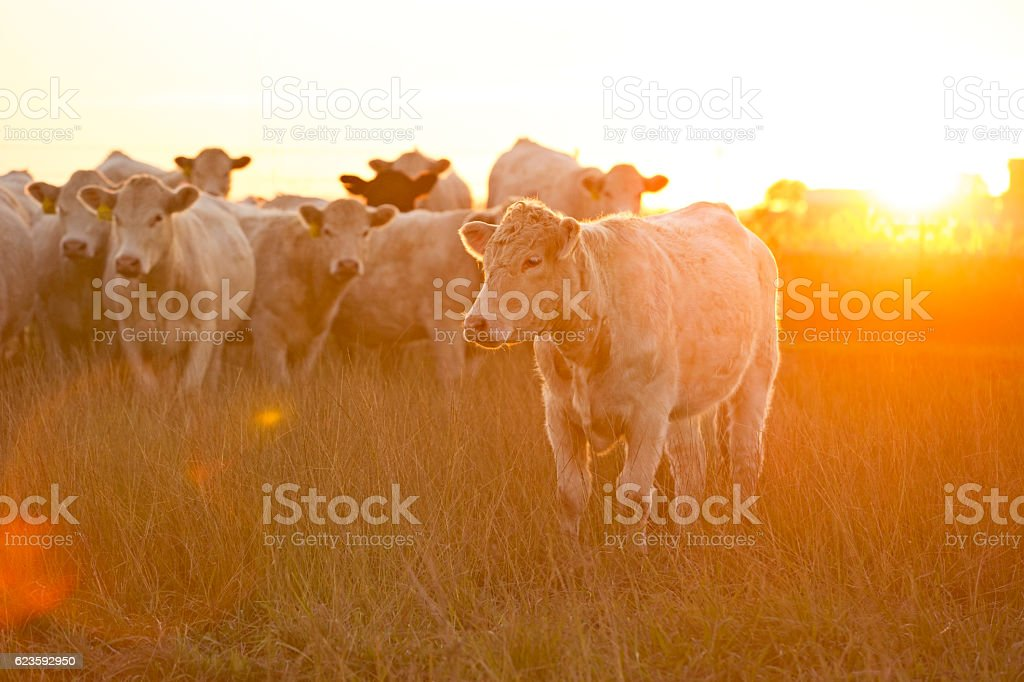 Charolais Cattle In a Late Summer Pasture At Sunset stock photo