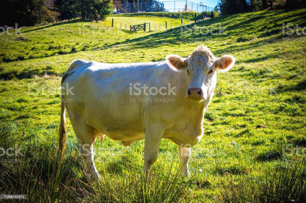 Charolais cattle stock photo