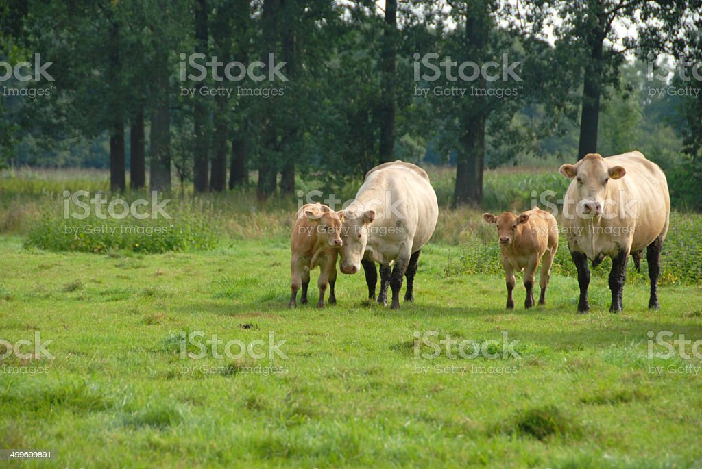 Charolais cows with it`s Calf standing in a pasture. royalty-free stock photo