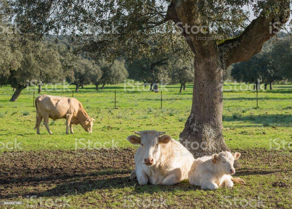 Vaca de raza Charolaisse - foto de stock