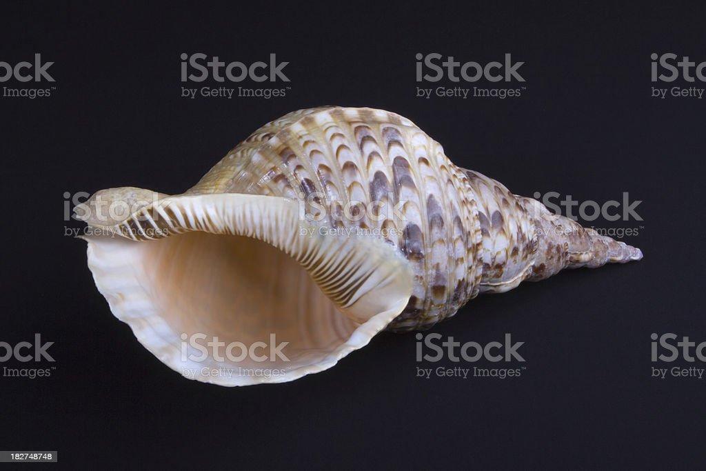 Charonia tritonis shell from Kenya on black background stock photo
