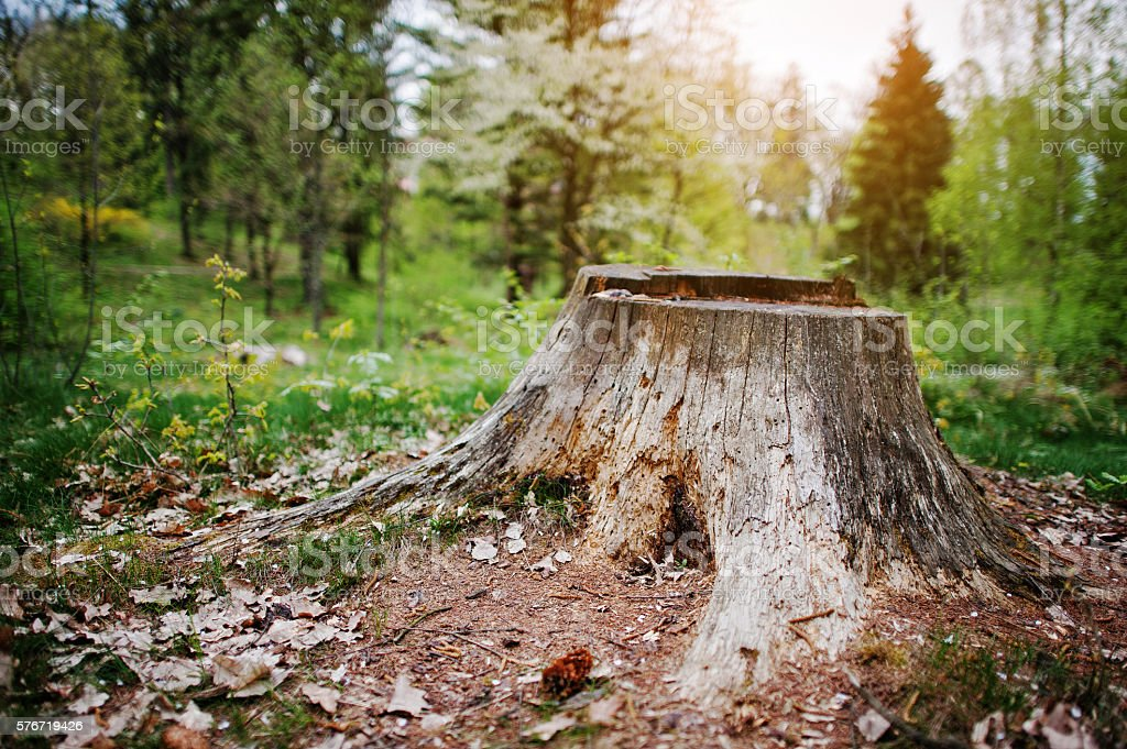 Charred tree stump in the forest stock photo