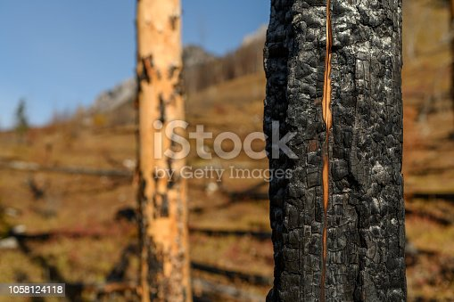 Charred tree trunks and remains after a devastating wildfire