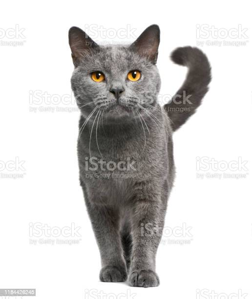 Chartreux cat 16 months old standing in front of white background picture id1184426245?b=1&k=6&m=1184426245&s=612x612&h=e lu2wfmqw1 9slm15twian spul9lyscqbth ygiz8=