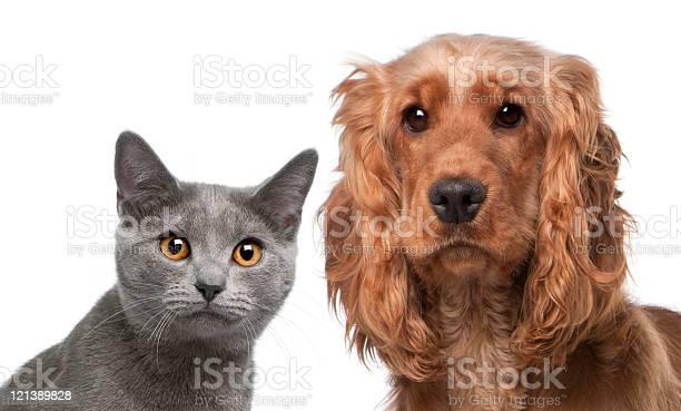 Chartreux cat and a english cocker spaniel white background picture id121389828?b=1&k=6&m=121389828&s=612x612&h=gii80xbdo xnxqk4tzwfvwtwsdf0mmn4u51yvav7h1s=